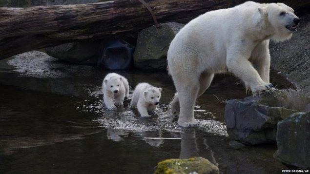 Полярные медвежата следуют за мамой, чтобы выйти за пределы их логова в первый раз, так как они родились в ноябре на Ouwehands зоопарке Rhenen, Нидерланды. Третий детеныш умер вскоре после рождения