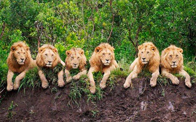 Борислав Береза: Стаю львов во главе с бараном