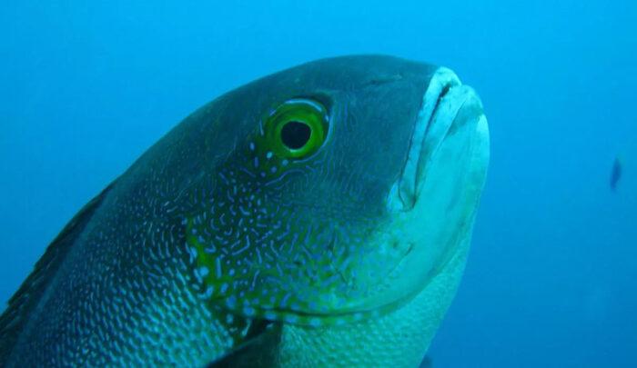 Самая старая из когда-либо зарегистрированных тропических рифовых рыб – 81-летний полуночный окунь.