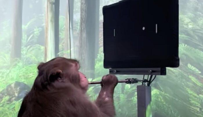 Большой прогресс обезьяны, Илона Маска, играющей в понг и то, чего вы не видите