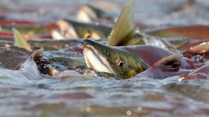 Російський лосось втік до Америки