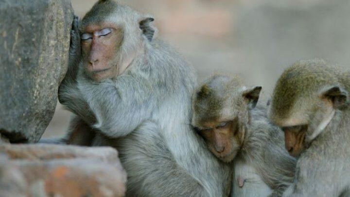 В Індії грабіжники натренували домашніх мавп обкрадати перехожих